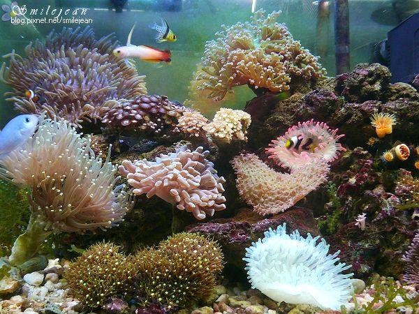 [養魚]海水缸熬過了夏天 @紫色微笑 Ben&Jean 饗樂生活