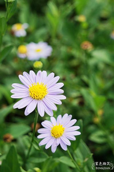 宜蘭旅遊▋大安藥園@員山~美麗的花也是治病的植物 @紫色微笑 Ben&Jean 饗樂生活