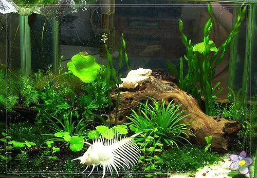 [養蝦]新完成~玫瑰蝦水草缸 @紫色微笑 Ben&Jean 饗樂生活