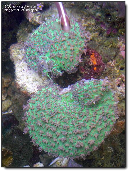 [海水缸]綠毛菇分裂為二,真的生了 @紫色微笑 Ben&Jean 饗樂生活