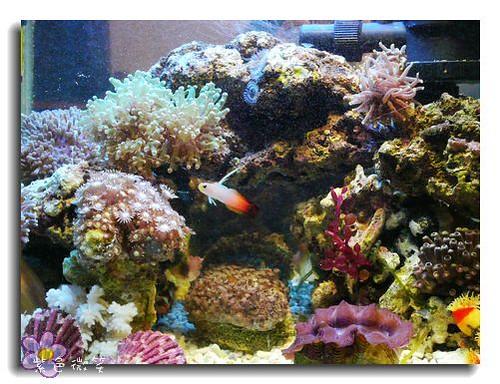 [養魚]海水缸筆記 @紫色微笑 Ben&Jean 饗樂生活