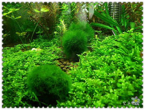 [養魚]幸福藻球長大了 @紫色微笑 Ben&Jean 饗樂生活