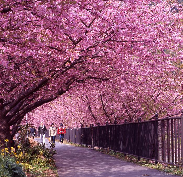 2020年的賞櫻就從靜岡縣的伊豆半島開始吧!! 這裏有全日本最早開的櫻花「河津櫻」!!白天可賞櫻,晚上泡溫泉享用海鮮,還有全家大小都喜歡的伊豆動物王國,也有童趣十足的雛吊飾祭!! @紫色微笑 Ben&Jean 饗樂生活
