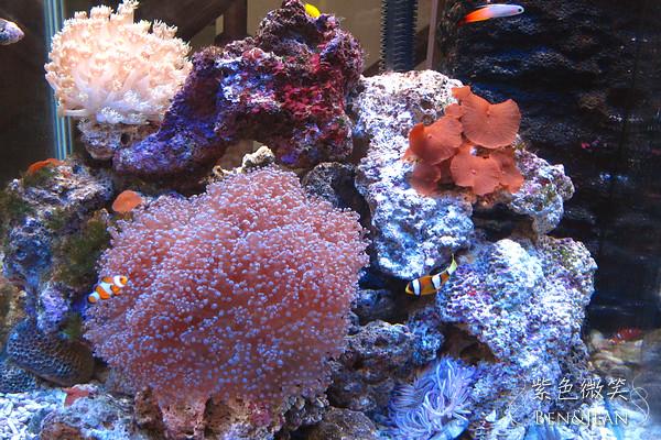 ▋海水魚缸▋2012新年更新AZOO藍燈管 @紫色微笑 Ben&Jean 饗樂生活